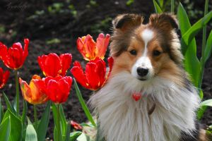 Beautifl sheltie by Aannabelle