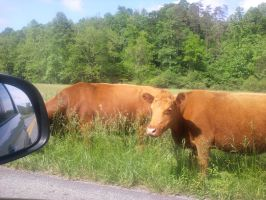 Cow HitchHikers by GoddessSpiritwolf