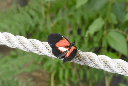 On A Tight Rope, Butterfly 2 by Miss-Tbones