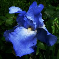 Iris of the Garden by EarthHart