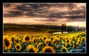 flower field by greycamera