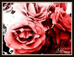 Red roses.. Just for.. by majma