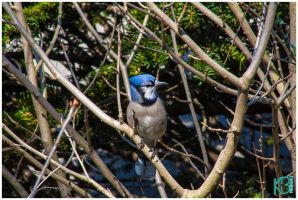 Ft Tryon Bluejay by emailartist26