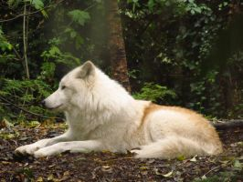 Arctic Wolf 11 by xCrystals
