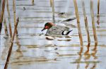 Green-winged Teal watercolor by Narret