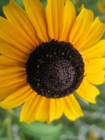 Black Eyed Susan by Qwerty1256