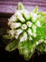 Japanese butterbur scape by mafully