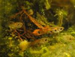 orange guppies by TreborNehoc