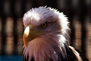 Bald Eagle 2 by Riphath