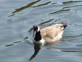 Canada goose by Birchall96