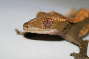 Crested Gecko by Xercesa