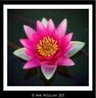 Pink Waterlily by substar