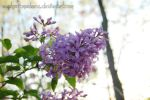 Lilac bunch by euphoricmadness
