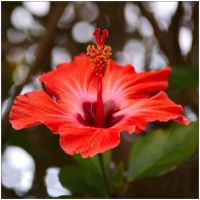 Hibiscus 2 by wildplaces