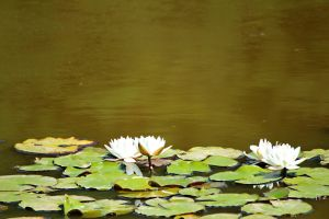 Water Lily 01 by Sofedar