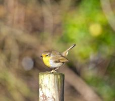 Robin by pqphotography