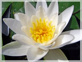 White Water-Lily by maska13