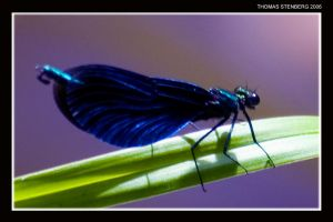Blue Wings by tomba76