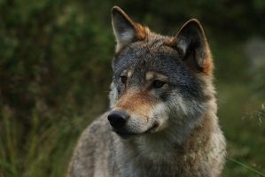 Wolf Portrait by titovn
