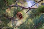 Mountain Pinecone by StephGabler