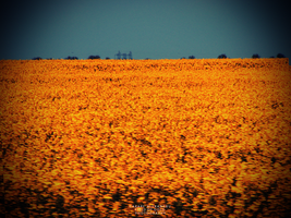 Field Of Gold Wallpaper by augustrush008