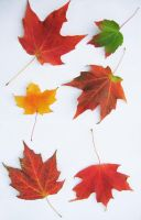 Maple Leaves III by archetype-stock