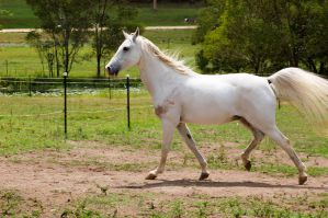 Arab - walk front trot hind by Chunga-Stock