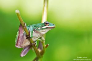Hyla cinerea by robertmroz