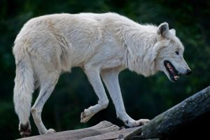 Papanack's Arctic Wolf by MichelLalonde