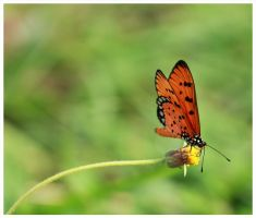 Butterfly Thailand 3 by Tismik