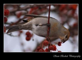 Pine Grosbeak Female 1 by seanbeckettvt