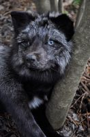 silver white mark fox pic 2 by foxycreationsgallery