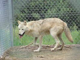 WSWS August 7: Wolf 8 by FamilyCanidae