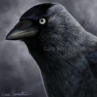 Jackdaw icon by makangeni