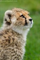 Cheetah 13 by Alannah-Hawker