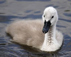 Close up Cygnet by SnowPoring