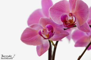 Orchid by Seeraeuber