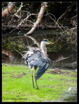 Heron on the Green by Mogrianne