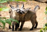 Dancing baby bat-eared foxes by woxys