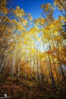 The Light Up Through the Aspens by mjohanson