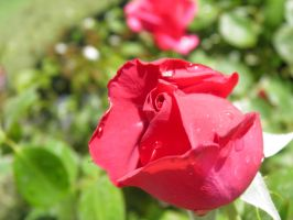 red rose by bwall49
