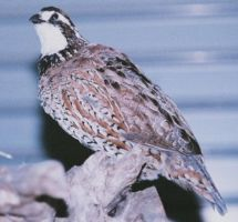 Little Bob the Bobwhite by Zhon
