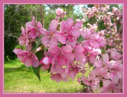 Crab Apple Blossoms by hoodie2u