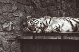 tiger by almaclone