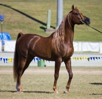 STOCK - Gold Coast show 166 by fillyrox