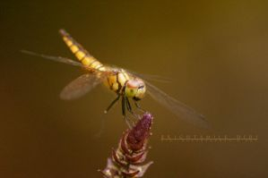 Golden Dragon Fly by Brightsmile-didi