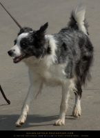 Border Collie 2 by SalsolaStock