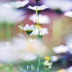 spring daisies by Laura1995