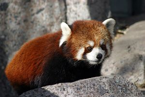 Red Panda by photog