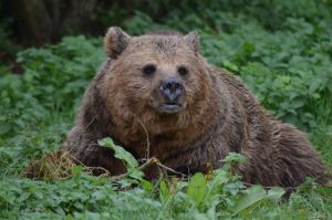 Brown Bear by CKPhotos